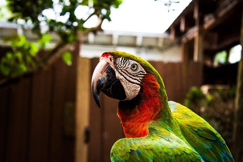 pappagalli Roma